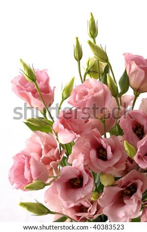 Bouquet Pink campanula