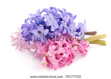 Bouquet violet hyacinth isolated on white background