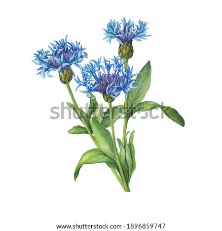 Bouquet with blue mountain cornflower flowers. (Centaurea montana, bachelor's button, montane knapweed or mountain bluet). Watercolor hand drawn painting illustration isolated on white background. Foto stock ©
