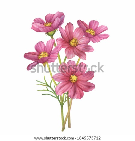 Bouquet with pink flower of cosmea (Cosmos bipinnatus, Mexican aster, garden cosmos). Watercolor hand drawn painting illustration isolated on white background.