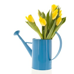 Bouquet yellow tulips in blue watering can isolated over white background