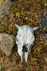 bovine or cow skull found in the foothills. bones close-up, leftovers of life. animal bones in the grass, a random find of tourists.