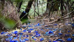Bower bird nesting & attracting mate with blue plastic