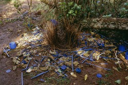 Bower of the satin bowerbird surrounded with blue objects, Australia
