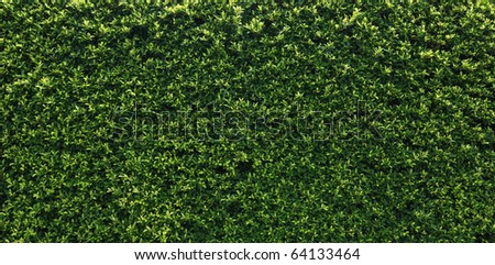 Box hedge with green leafs isolated.