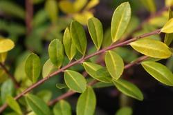 Box-leaved holly Golden Gem leaves - Latin name - Ilex crenata Golden Gem