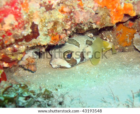 Box/Puffer fish hiding in a reef - stock photo