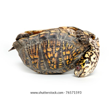Box turtle upside down and on its back on white background