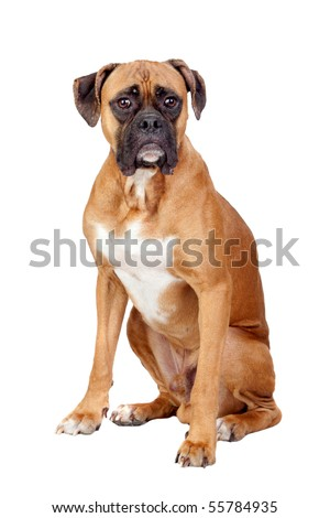 Boxer breed dog isolated on white background