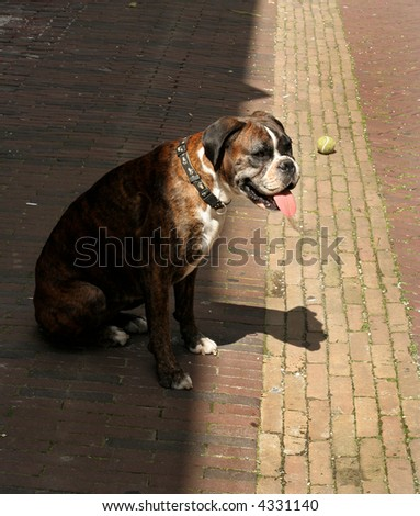 Boxer Breed Dog Leans Out Of The Shadow Eager To Play Ball