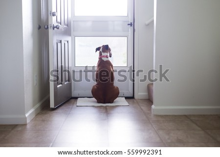 Boxer canine looks through screen door while waiting for something. Stockfoto ©