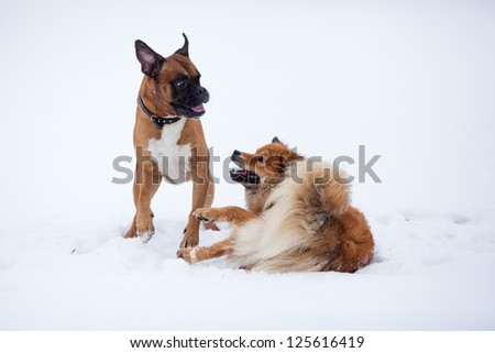 boxer dog and Elo dog play in the snow
