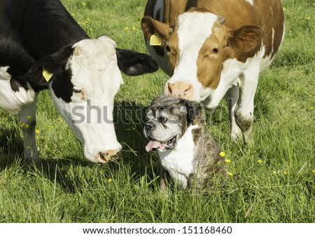 Boxer dog and friendly cow #151168460