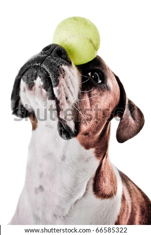 Boxer Dog Balancing Ball on Nose