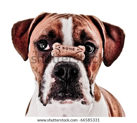 Boxer Dog Balancing Treat on Nose