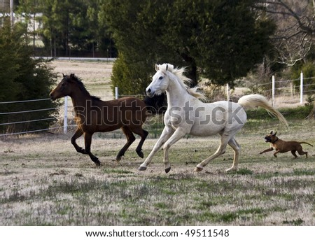 boxer dog chasing after horses running in pasture