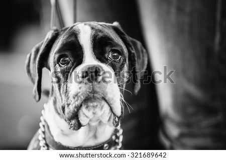 Boxer Dog Close Up Portrait. Black And White Photo