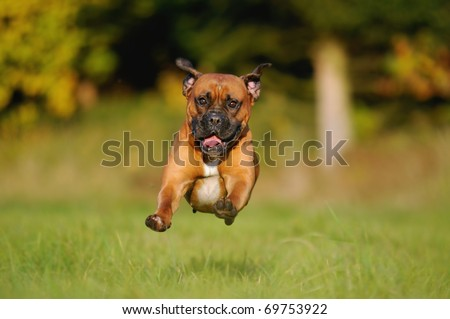 Boxer Dog comes in the flight above the meadow