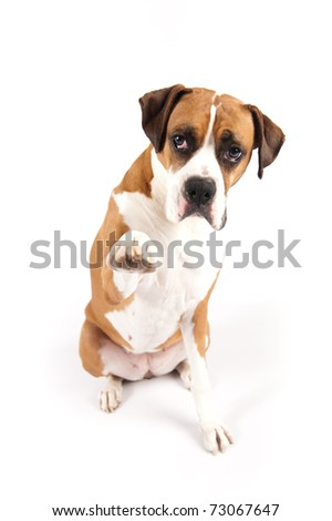 Boxer Dog Giving High Five on White Background