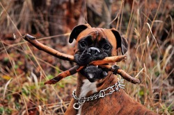 Boxer dog holding a wood in her mouth.