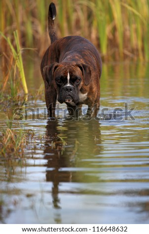 boxer dog in water