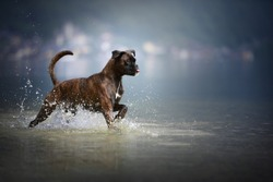 Boxer dog is running through the water. Dog in a lake.