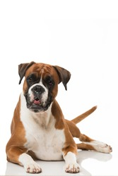 Boxer dog isolated on white