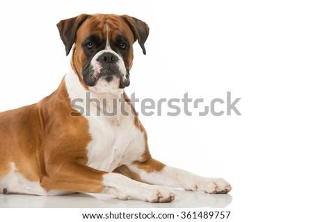 Boxer dog isolated on white #361489757