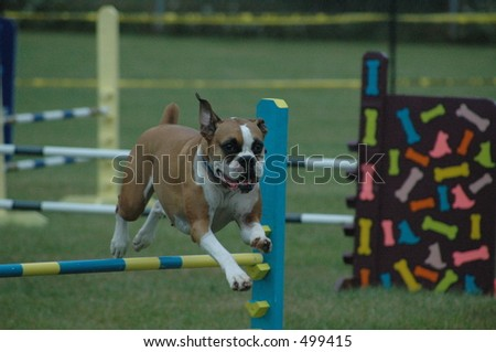 Boxer dog jumping in a agility run
