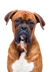 boxer dog looking isolated on a white background