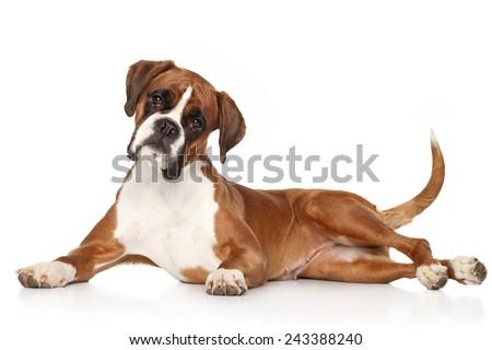 boxer dog lying on white...