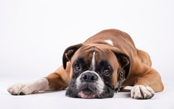 boxer dog lying with his head on the floor on a white background.