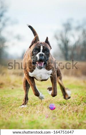 Boxer dog playing with ball