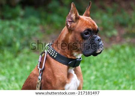 boxer dog portrait close up #217181497
