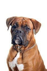 Boxer dog portrait isolated on white background