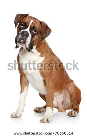 Boxer dog portrait on a white background