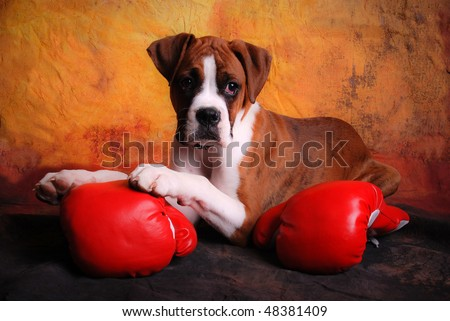 Boxer Dog Posing with Boxing Gloves