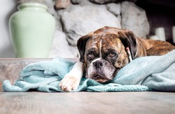 Boxer dog resting on blanket while looking at the camera. 5 year old female brindle boxer with floppy ears with sad or bored expression lying in front of a fireplace in living room. Selective focus.