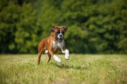 Boxer dog running in a summer meadow