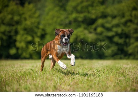 Boxer dog running in a summer meadow #1101165188