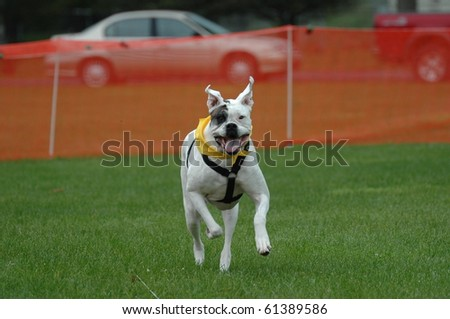 Boxer Dog running lure course
