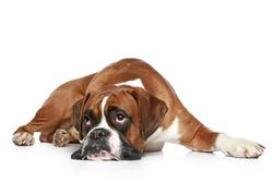 Boxer dog sad, lying on a white background
