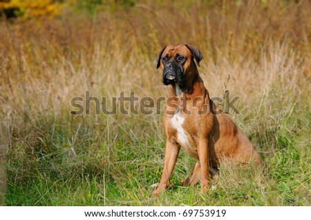 Boxer Dog sits in the meadow
