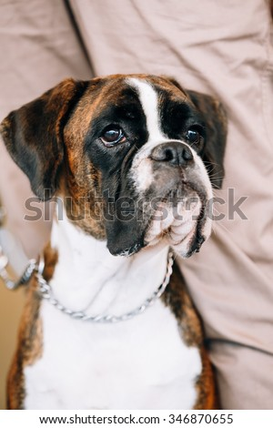 Boxer Dog Sitting near Owner. The Boxer is a breed of medium-sized, short-haired dogs developed in Germany