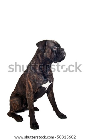 Boxer dog sitting on isolated white background