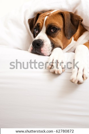 Boxer Dog Sleeping Between Sheets on Owner's Bed
