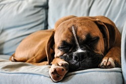 Boxer dog sleeping on a soft sofa