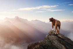 Boxer Dog Standing on top of mountain peak. Fantasy adventure composite. Landscape from British Columbia, Canada. Sunset or Sunrise with Sunrays.