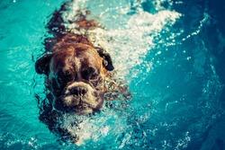Boxer dog swimming