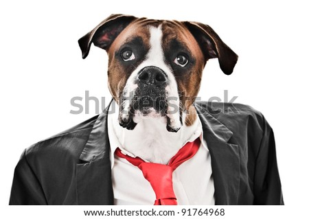 Boxer Dog wearing a coat, shirt and red tie